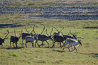 Rentier, Ren-Tier, Europäisches Ren, Herde, domestiziert, Rangifer tarandus, reindeer, Tundrarentier, Tundra-Rentier, Karibu, caribou, Nord-Norwegen