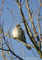 0105-1002  Northern Mockingbird, Mimus polyglottos  © David Kuhn/Dwight Kuhn Photography