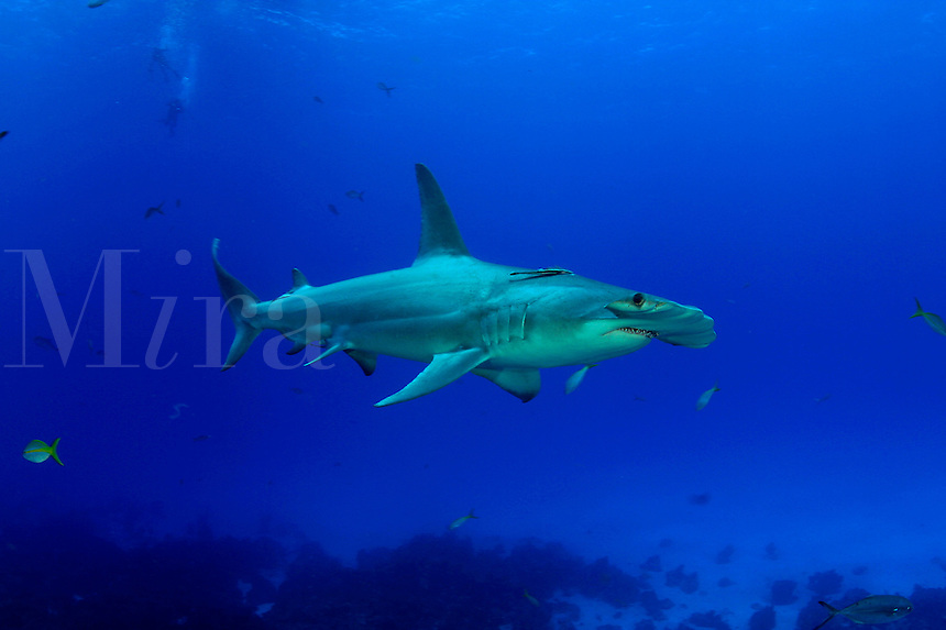 SCALLOPED HAMMERHEAD SHARK Sphyrna lewini GALAPAGOS ISLANDS. predator dangerous menacing deadly hazardous cartilaginous horizontal underwater Galapagos islands Schooling underwater Equador danger unde