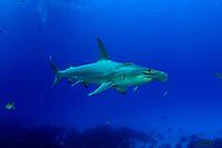 SCALLOPED HAMMERHEAD SHARK Sphyrna lewini GALAPAGOS ISLANDS. predator dangerous menacing deadly hazardous cartilaginous horizontal underwater Galapagos islands Schooling underwater Equador danger unde