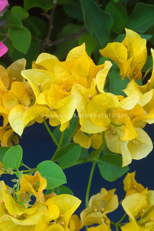 Bougainvillea 'Lady Mary Baring'