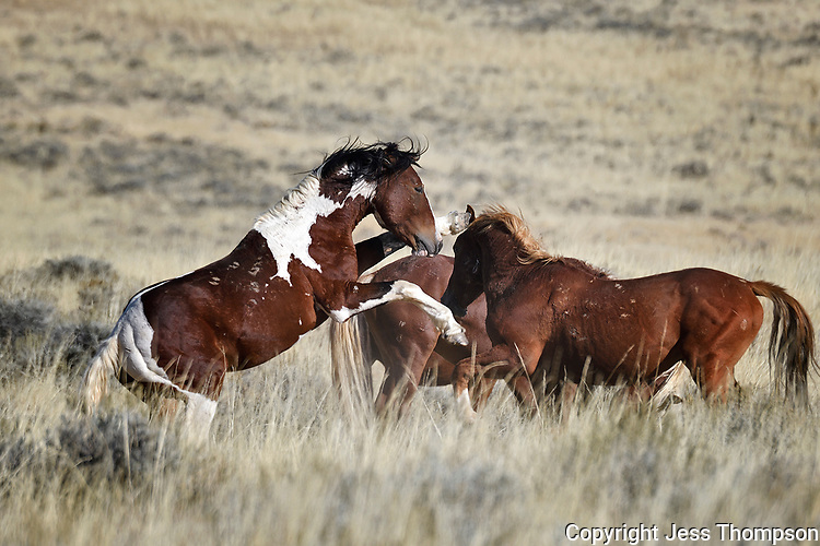 Wild Horses Fighting, McCullough Peaks Range, Cody, Wyoming