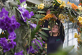 "London, UK. 6 February 2014. Pictured: Horticulturalist Jess Lee at work. The annual orchids festival at the Royal Botanic Gardens, Kew, takes centre stage in the Princess of Wales Conservatory from 8 February to 9 March 2014. This year's theme is ""Orchids: A Plant Hunters' Paradise"". More than 6500 orchids of the Phalaenopsis, Vanda and Cambria hybrids have been worked into colourful displays by a team of 20 people which took 4 weeks to build."