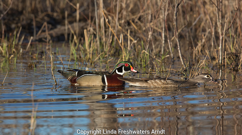 Pair of  wood ducks trying to sneak away in a wetland in northern Wisconsin.