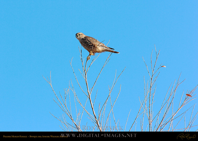 Prairie Merlin Female, Bosque del Apache Wildlife Refuge, New Mexico