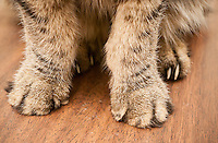 A domestic short hair cat's paws showing the front paws declawed contrasting with the untouched rear paws in New York on Wednesday, May 18, 2016. A bill introduced by NYS Assemblymember Linda Rosenthal want to make unlawful the declawing of cats. Veterinarians from various group either support the law or feel that the decision should be left to owners and their vets. (© Richard B. Levine)