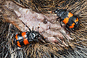 Burying Beetles {Nicrophorus investigator} on dead squirrel. Peak District National Park, Derbyshire, UK. September.