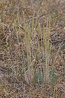 Blaugrünes Schillergras, Blaugrüne Kammschmiele, Blaugraues Schillergras, Koeleria glauca, Glaucous Hair Grass, auf einem Trockenrasen