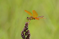 304570021 a wild male mexican amberwing perithemis intensa perches on a flower stem along the edge of roper lake in roper lake state park cochise county arizona