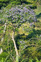 Jacarinda tree, Uganda, East Africa