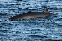 Min‌ke whale Balaenoptera acutorostrata surfacing in calm sea. Kvitoya, 82N Arctic Ocean