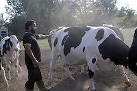 COMUNITA' SIKH NELLA FOTO UN MANDRIANO TRA LE MUCCHE LAVORO SAN PAOLO 26/07/2005 FOTO MATTEO BIATTA<br /> <br /> SIKH COMMUNITY IN THE PICTURE AN HERDSMAN BETWEEN THE COWS WORK SAN PAOLO 26/07/2005 PHOTO BY MATTEO BIATTA