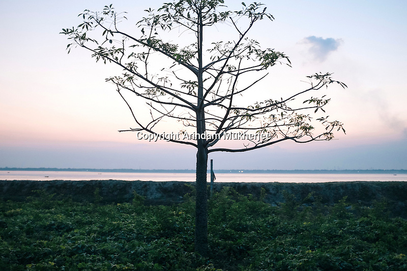 A tree by the river Ganges in Hossenpur village, Murshidabad district, West Bengal, India.