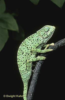 CH08-003z  African Chameleon - skin spotted, fear response - Chameleo senegalensis