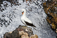 A Nazca Booby is standing on a large, lava outcrop preening its beautiful white feathers in total concentration, oblivious of the ocean waves furiously crashing and spraying behind it.