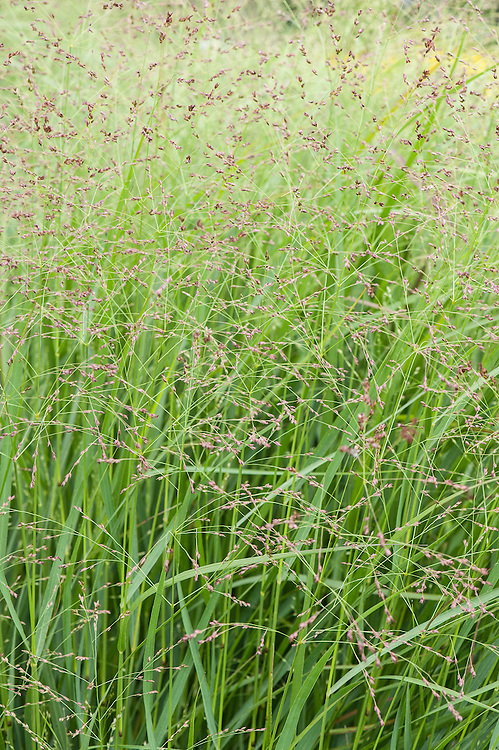 Panicum virgatum 'Rehbraun', late August. Sometimes known as Switch grass, Brown deer switch grass, or Wand panic grass.