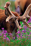 With his antlers in new velvet, a Roosevelt's elk devotes his efforts to grazing in a field of fresh grass growth and blooming lupine along the coast of Northern California.
