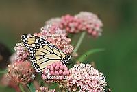03536-01919 Monarch (Danaus plexippus) on Swamp Milkweed (Asclepias incarnata) Marion Co.  IL