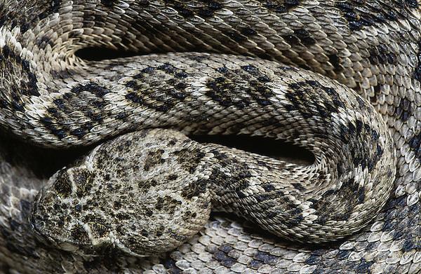 Western Diamondback Rattlesnake, Crotalus atrox, adult, Sinton, Texas, USA, May 2005