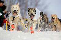 Rick Larsons sled dog team running down trail through Anchorage 2006 Iditarod Ceremonial Start Winter