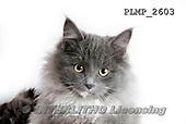 Marek, ANIMALS, REALISTISCHE TIERE, ANIMALES REALISTICOS, cats, photos+++++,PLMP2603,#a#