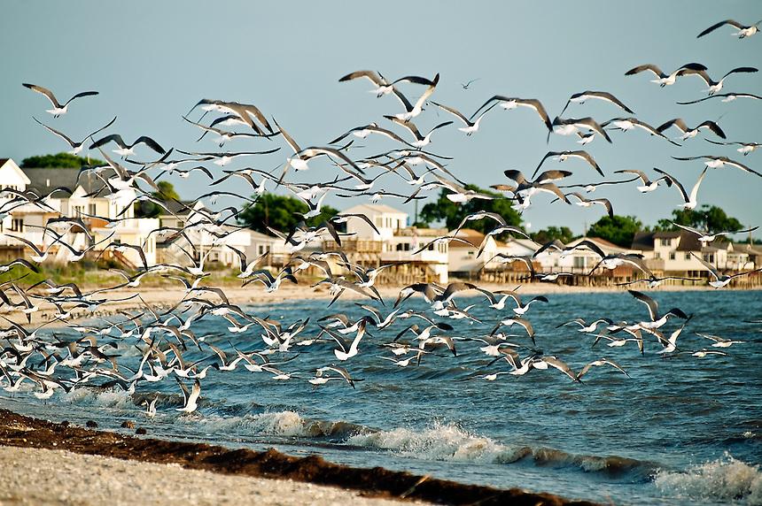 Flock of seagulls feeding on Reeds Beach, New Jersey