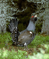 Capercaillie Tetrao urogallus L 60-90cm. Huge, impressive gamebird. Explodes into flight when disturbed, revealing long wings and tail. Male is almost half as big again as female and sexes are dissimilar in plumage terms. Adult male often looks all-dark but greenish sheen on breast is sometimes seen. Has brownish wings, red wattle above eye and rounded white spot at base of folded forewing. Tail is fanned elevated in display. Adult female has finely barred grey-brown plumage with orange-brown patch on breast. Juvenile resembles a small, dull female. Voice Male utters bizarre sequence of clicks followed by noise that resembles a cork being pulled from a bottle. Status Confined to mature Scots Pine forest in Scotland. Became extinct in 18th Century; current population results from re-introductions. Status Easiest to see at RSPB's Loch Garten reserve.
