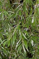 Silber-Weide, Silberweide, Weissweide, Weißweide, Weide, Blätter, Salix alba, White Willow