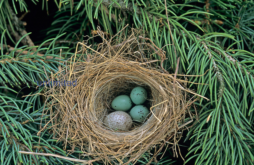Cowbird egg in Chipping Sparrow nest, Social Parasitism.