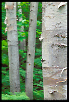 WHITE BIRCH FOREST NEAR TWELVE-MILE BEACH CAMPGROUND IN THE PICTURED ROCKS NATIONAL LAKESHORE, GRAND MARAIS MICHIGAN.
