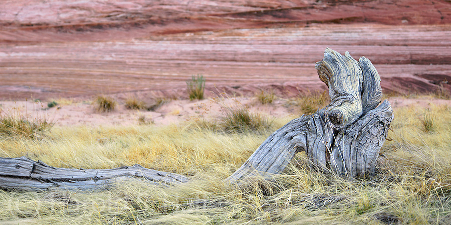 A fallen tree looks like a giraffe in the grasslands of White Pocket Arizona.