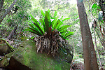 Birds Nest Fern-Strickland State Forest