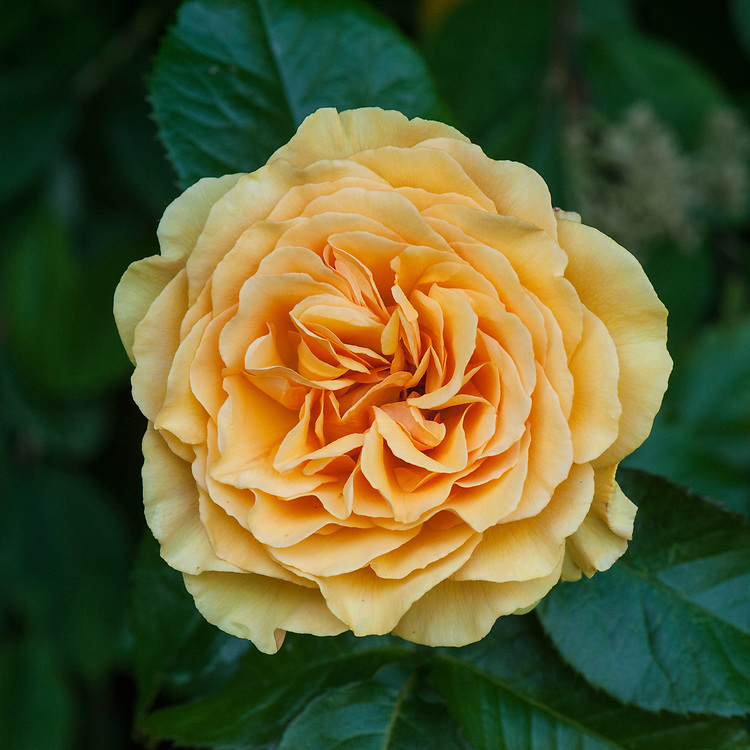 Rosa Amber Queen ('Harroony'), mid June. A dwarf bush or shrub rose with fragrant, double, orange-yellow flowers from early summer to autumn. Introduced by Harkness in 1984.
