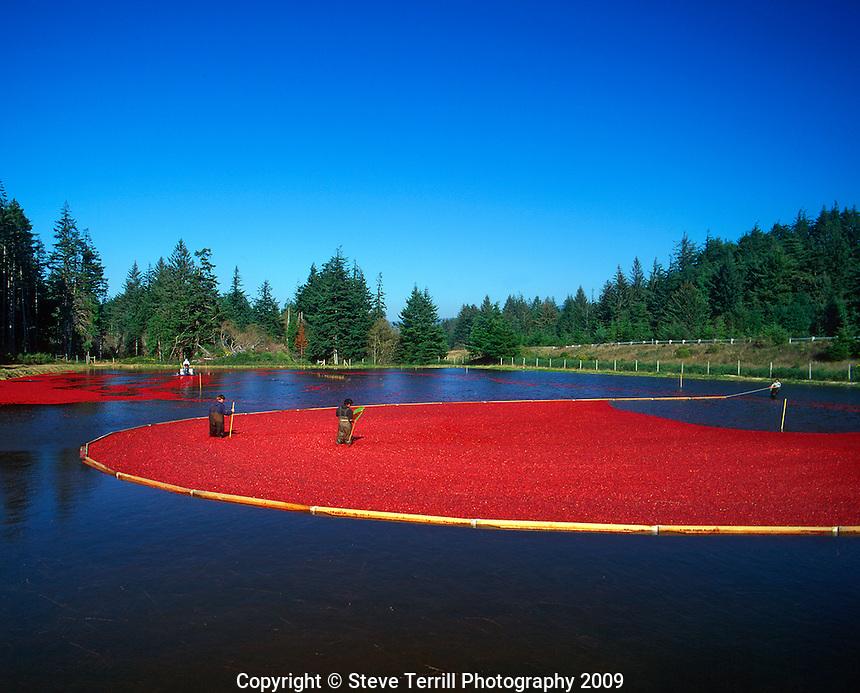 Harvesting cranberries in bog near Bandon, Oregon