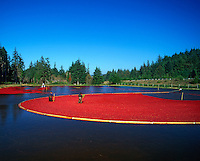 Harvesting cranberries in bog near Bandon, Oregon