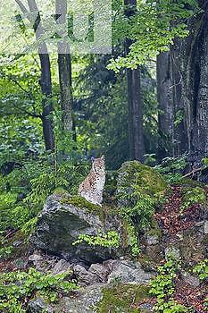 Eurasian Lynx ,Lynx lynx,, Bavarian Forest National Park, Germany, Europe.