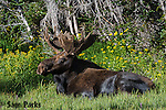 Bull moose bedded in wildflowers. Roosevelt National Forest, Colorado.