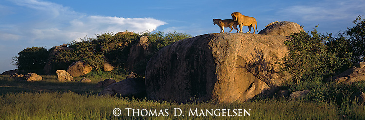 Lion and lioness survey the area from atop a high kopje.