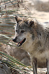 Mexican Wolf in Palm Desert in March
