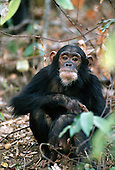 Gombe, Tanzania. Wild chimpanzee at the Gombe Stream National Park.