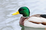 anas platyrhynchos, animal, animalia, animals, Antidae, bird, birds, duck, duck bird, duck birds, ducks, living being, mallard, mallard duck, mallard ducks, mallards, vertebrate, vertebrates, warm blooded animals, warm blooded-animal, waterfowl, waterfowls, Anatidae, Aves, Ente, Enten, Entenvögel, Fauna, Lebewesen, Stockente, Stockenten, Tier, Tierbild, Tierbilder, Tiere, Vertebrata, Warmblüter, Wasservögel, Wirbeltier, Wirbeltiere, Entenvoegel, Natur, Wasservoegel, 7/4-027, nature, Northern Mallard, wildlife