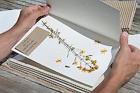Einlegebögen mit Pflanzen werden in die Pflanzenpresse gelegt, geschichtet, Wellpappe-Zwischenlage-Einlegebogen mit Pflanze-Zwischenlage..... Botanik, Botanisieren, botany, Herbar, herbaria, Herbarien, herbarisieren, herbier, Pflanzenbestimmung, Pflanzenherbar