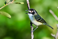 Singing Black-capped Vireo