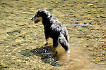 Mixed breed in Loyalsock Creek near Barbours, PA in June...................................................