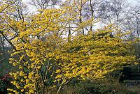 Hamamelis mollis Boskoop in bloom