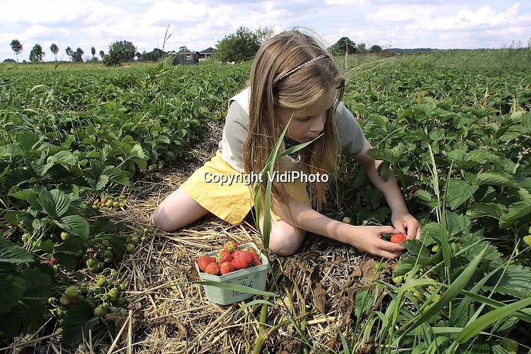 Foto: VidiPhoto..KESTEREN - Aardbeienteler Van Dam kan nu iedere hulp gebruiken. De aardbeien van de koude grond beginnen te rijpen en brengen op dit moment goud geld op. Op de veiling doen de kostbare vruchten op dit moment tussen de 3,80 en 4,40 gulden per pond. En dat is een forse prijs voor aardbeien. Bovendien staan de planten bol van de vruchten. Volgens Van Dam hebben zo nog nooit zo goed gedragen. Foto: Anneke van Dam (9) helpt haar vader.