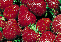close-up of bunch of bright red strawberries with green tops. agriculture, fruit, crop. Gilroy California.