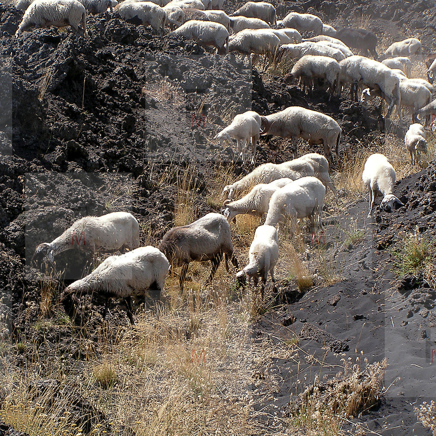Gregge di capre sul versante sud dell'Etna...A flock of the goats on the southern side of Etna, the sicilian vulcan.