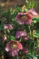 Helleborus x hybridus - pink with spots