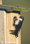 Tree Swallow (Tachycineta bicolor) taking feather into birdhouse for nest lining, New York, USA<br /> B114-412